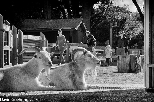 Two goats at a petting zoo