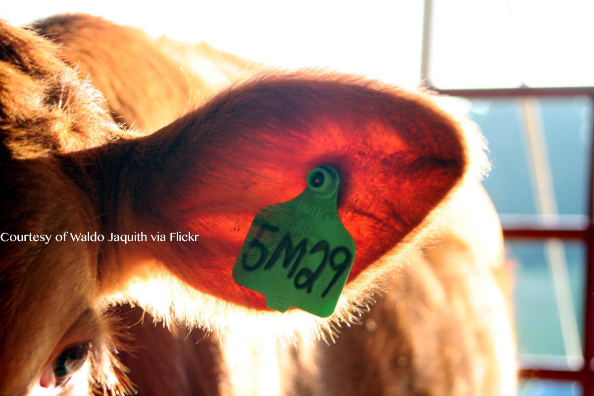 A cows earmark